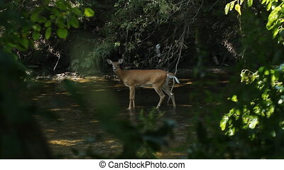 Deer sighting in the river. - View through trees of female...