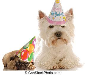 小狗, 西方, 帽子,  Pug, 向上, 生日, 被給穿衣, 白色, 高地, 地籍冊