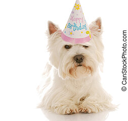 west highland white terrier wearing cute birthday hat