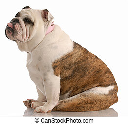 bulldog sitting with tongue sticking out on white background