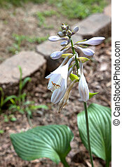 Hosta - The beautiful blooms of a hosta plant.