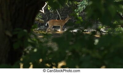 Deer sighting. - View through trees of female white-tailed...