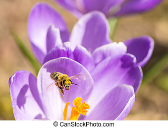 Crocus and Flying Bee