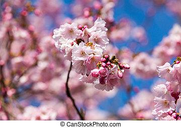 Cherry blossom, sakura flowers