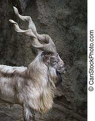 Markhor - Profile portrait of a markhor with his long horns
