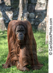 Grownup orangutan in the zoo closeup photo