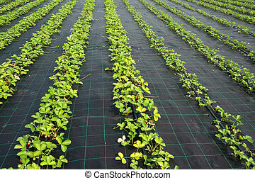 Strawberry plants - Rows of strawberry plants in a farm...