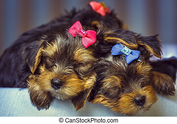 Sleeping Yorkshire terrier dog puppies - Two sleeping cute...
