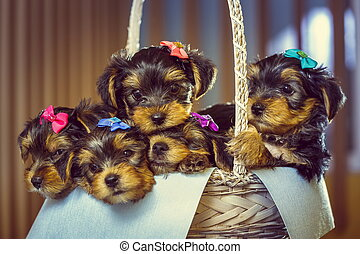 Yorkshire terrier puppies in a basket - Five adorable little...
