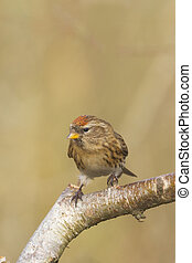 Redpoll (Carduelis flammea) Perched on a branch