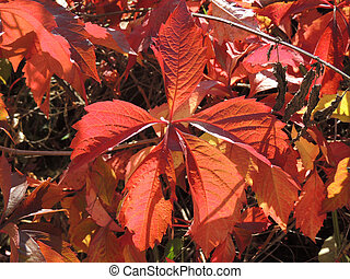 leaves of Parthenocissus - Foliage of Parthenocissus Hole...