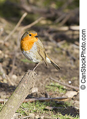 Robin (Erithacus rubecula) - Robin perched on a branch in...