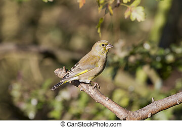 Greenfinch  (Carduelis chloris) perched on a branch