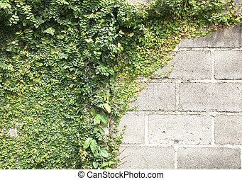 Green Creeper - The Green Creeper Plant on the Wall