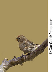 Redpoll Carduelis flammea Perched on a tree branch