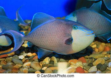 Redtooth triggerfish Odonus niger in Japan