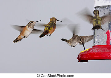 Swarm Of Hummingbirds At A Feeder - Rufous (Selasphorus...