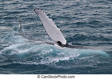 Whale waving - A humpback whale waves to viewers on a whale...