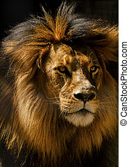 Lion Male Closeup - The lion Panthera leo is one of the five...