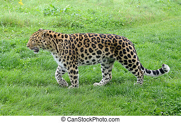 Leopard Stalking - Wild leopard full length walking in...
