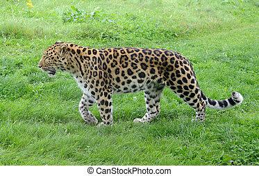 Leopard Stalking - Wild leopard full length walking in...