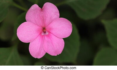 Pink pansy. - Closeup of pink pansy with green foliage in...