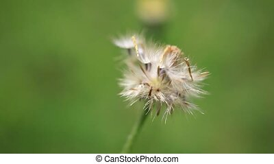 Close up of beautiful dandelion in nature. macro