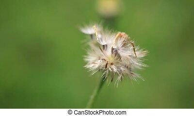 Close up of beautiful dandelion in nature. macro
