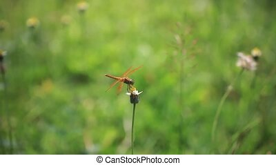 Red veined darter dragonfly on camomile. Blurred nature...