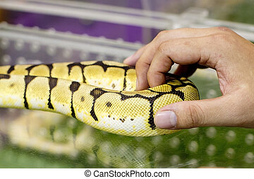Gold boa in a human hands