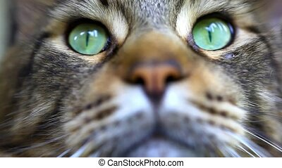 Close up of Maine Coon black tabby cat with green eye