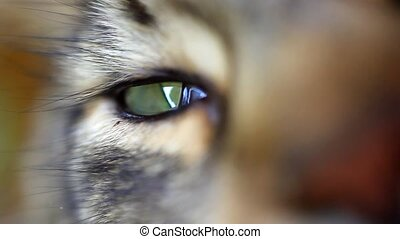 Close up of green eye Of Maine Coon black tabby cat. Macro....