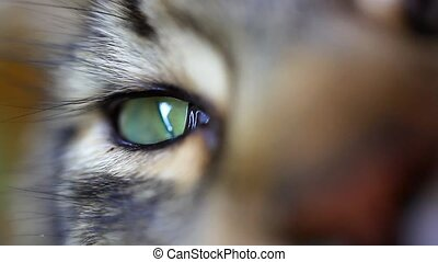 Close up of green eye Of Maine Coon black tabby cat Macro...