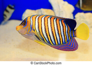 Regal Angelfish Pygoplites diacanthus in Japan