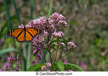 Monarch Majesty - Monarch butterfly and bee on wildflower.