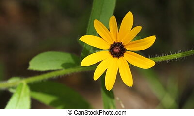 Sunny yellow flower. - Closeup of sunlit yellow daisy with...