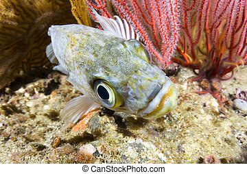 kelp rockfish - A motionless kelp rockfish rests on a reef...
