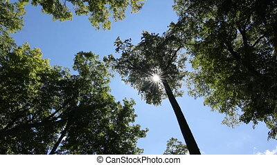 Tall summer trees. - Sun shining through branches of tall...