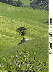 Lonesome Stone Pine on a greean meadow close to Volterra