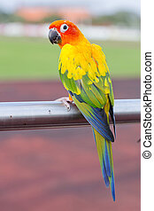 Blue-and-Yellow Macaw (Ara ararauna), also known as the...