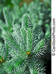 Fir tree branch - Christmas  fir tree branch izolated