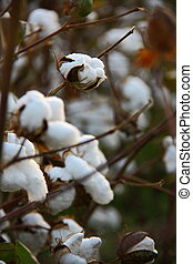 cotton fields at sunset - collecting cotton from field at...