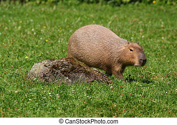 Capybara on grass
