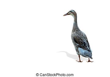 indian runner duck - Laufente freigestellt, seitlich,...