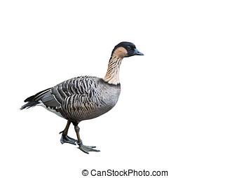 wild geese - Graugans, freigestellt, seitlich