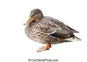 duck isolated - Ente seitlich, freigestellt