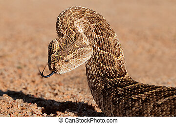 Defensive puff adder - Portrait of a puff adder (Bitis...