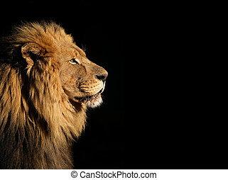 Male African lion on black - Side portrait of a big male...