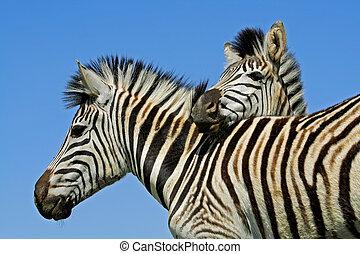 Plains Zebra portrait - Portrait of two plains (Burchells)...