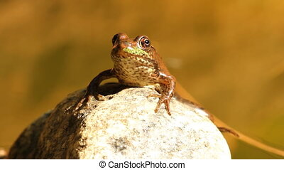 Frog on a rock. Closeup.